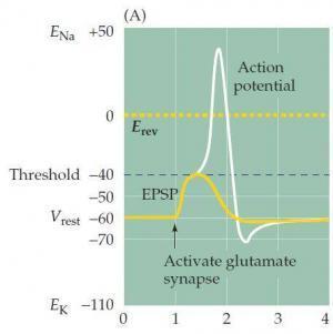 Intracynaptic Factors of EPSP Variability in Synaptic Transmission