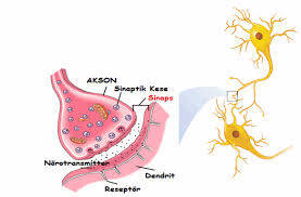 Synaptic Structure and Mechanisms