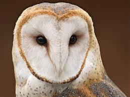 Owls' Breeding Strategies