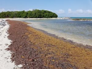 Collecting, Harvesting and Extracting Brown Algae