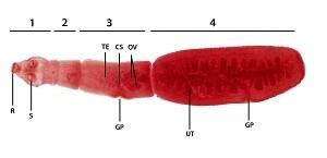 Hydatid Structure of Echinococcus Granulosus Cyst (Larval Period)