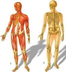 Effects of Growth Hormone GH ?? on Skeletal Muscle System